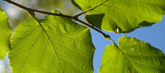 Stosowanie brzozy w ziołolecznictwie